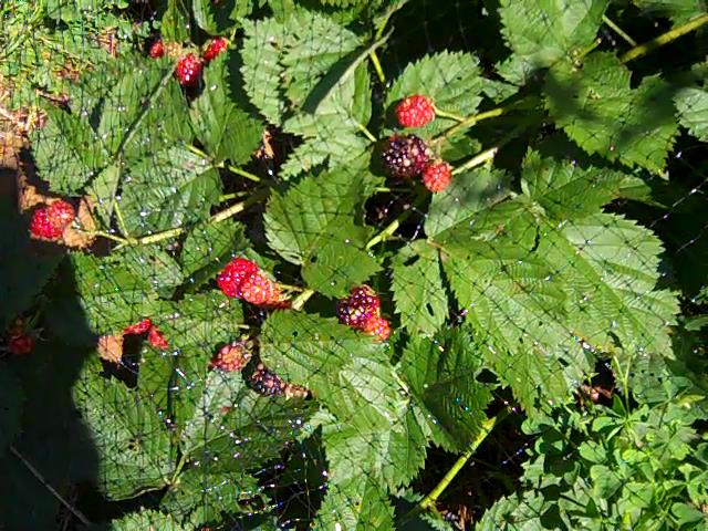blackberriesgettingripe2